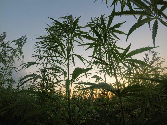 Planta de cannabis medicina cosmética